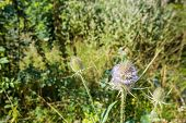 stock photo of spiky plants  - Closeup of violet blooming and prickly Fuller - JPG
