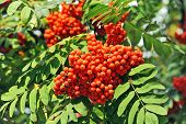 stock photo of mountain-ash  - Rowan berries Mountain ash  - JPG