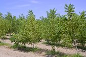 pic of pecan tree  - Pecan nut tree on a farm on the blue sky background - JPG