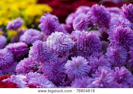 Blooming Purple  Yellow And Purpur Mums Or Chrysanthemums