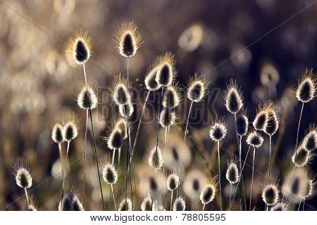 Cotton grass (Eriophorum) flowering coastal plants