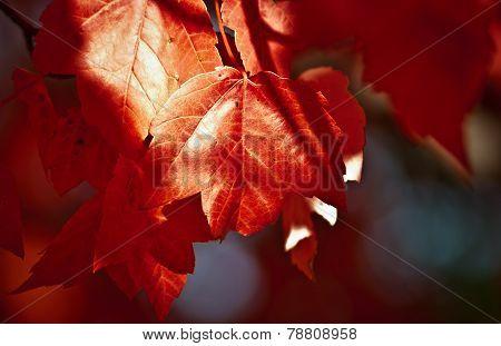 Red leaf blues.
