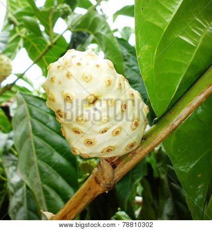 Morinda citrifolia - Noni fruit tree
