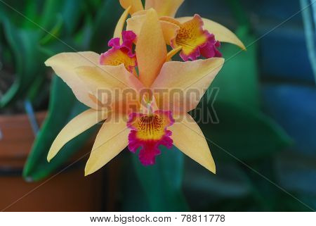 Orange Cymbidium Orchid Flower