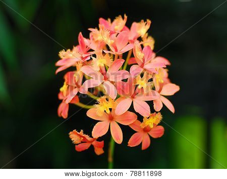 Epidendrum Orange Yellow Orchid Flower