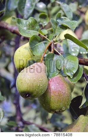Ripe Summer Fruits Pears On Tree Branch