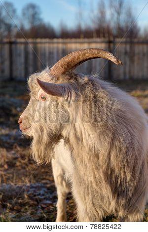 Goat In Profile