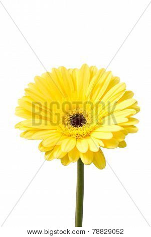 Yellow Gerbera Flower (brilliance).