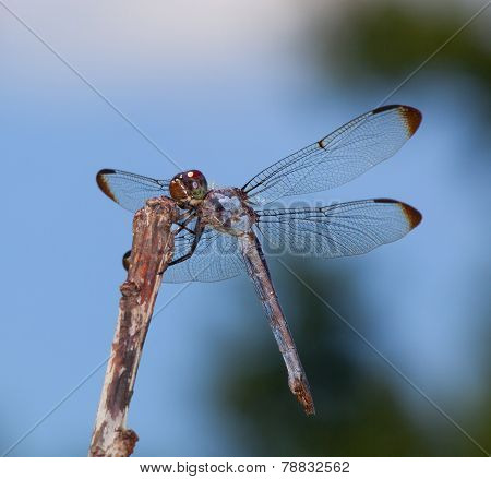 Hungry Dragonfly
