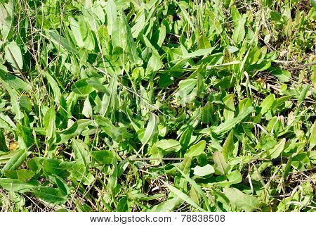 Green Plants  Sorrel As Nature   Background
