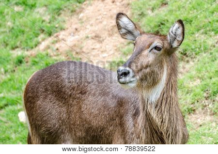 White-tailed Deer Standing In A Grassy Field
