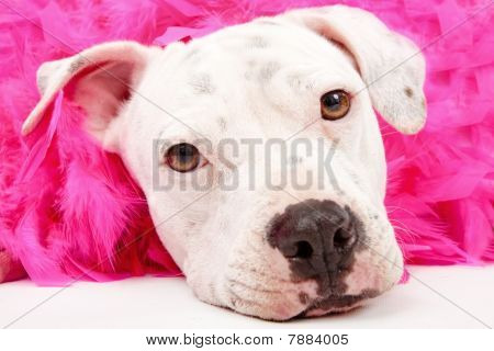 Young White Pit Bull With Pink Boa