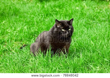 black cat sitting on a green lawn