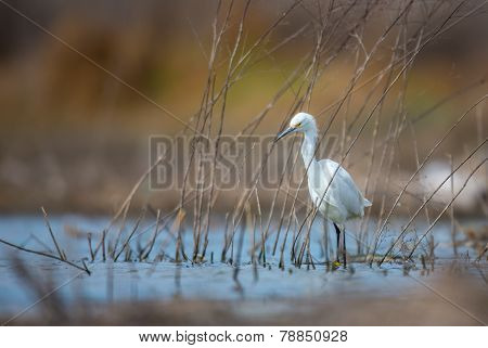 Snowy Egret stalking prey in a marsh in central Mexico.