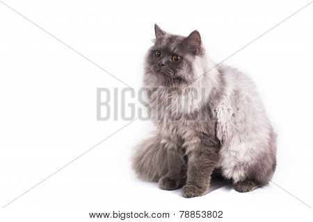Persian Cat On White Background