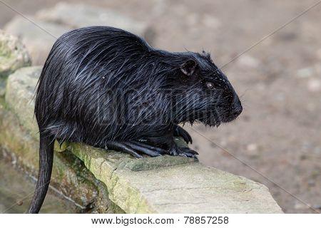 Black Nutria