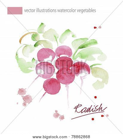 Radish with leaf. Hand drawn watercolor painting. Vector illustration