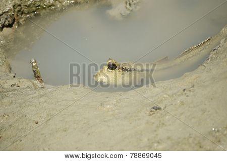 A Giant Mud Skipper