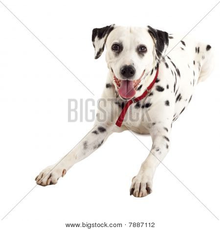 Seated Dalmatian Female
