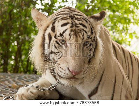 Pattaya, Thailand - January 17, 2012: Tiger in a zoo in Million Years Stone Park