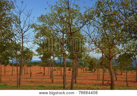 Rubber Tree Plantations
