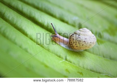 Snail On The Green Hosta Leaf