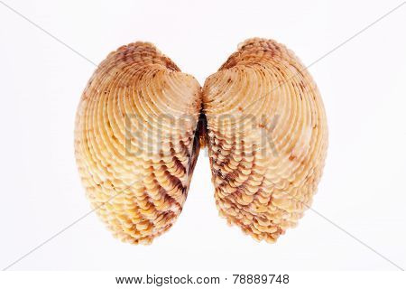 double sea shell isolated on white background