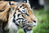 Постер, плакат: Encounter with Sumatran tiger