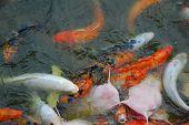 image of koi fish  - Colorful Koi Fish swimming in a pond - JPG