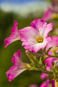stock photo of petunia  - Pink petunias flowering in the home garden - JPG