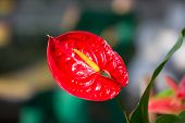 picture of arum lily  - Close up of Red Anthurium flower in botanic garden  - JPG