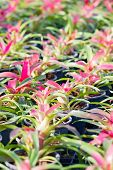 pic of bromeliad  - Close up colorful of Bromeliad plant in farm - JPG