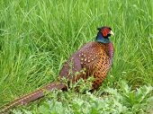 pic of pheasant  - Male pheasant in spring - JPG