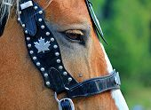 pic of bronco  - Close up portrait of horse with bridle - JPG