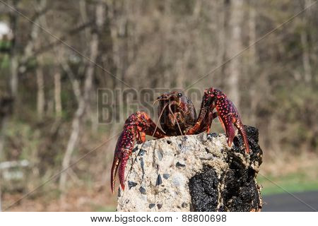 Crayfish On The Rock