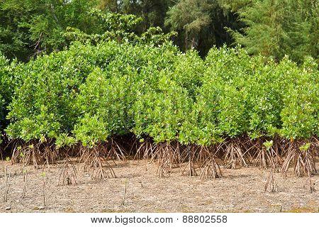 Mangrove Thailand.
