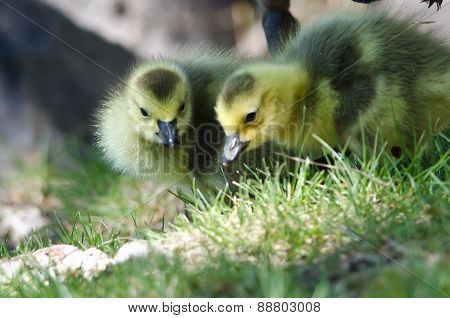 Newborn Goslings Looking Closely Into The Grass