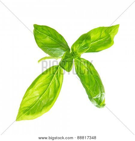 Fresh sweet basil leaves isolated on white background.