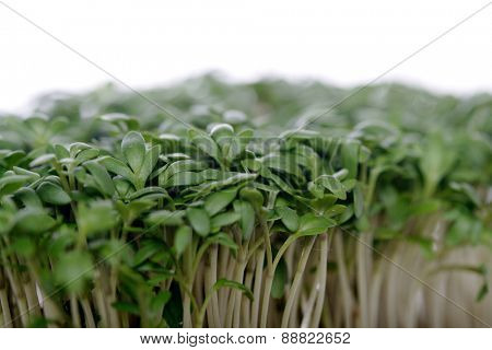 Close up of Garden cress