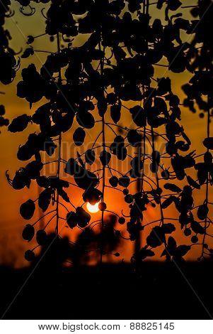 Golden Shower Tree  Silhouette