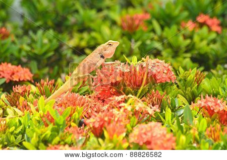 Brown Thai Lizard  On Red Flower
