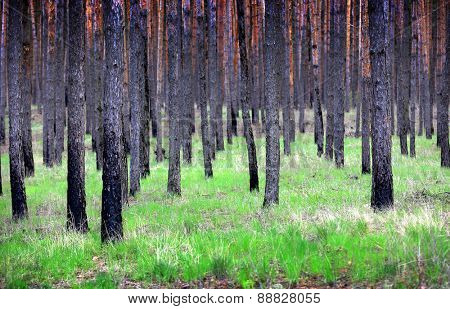 pine forest - abstract natural background