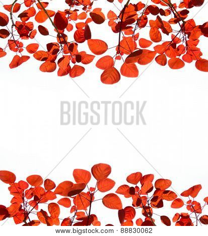 red leaves isolated on white background