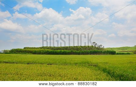 Paddy Rice Field In Southern Vietnam