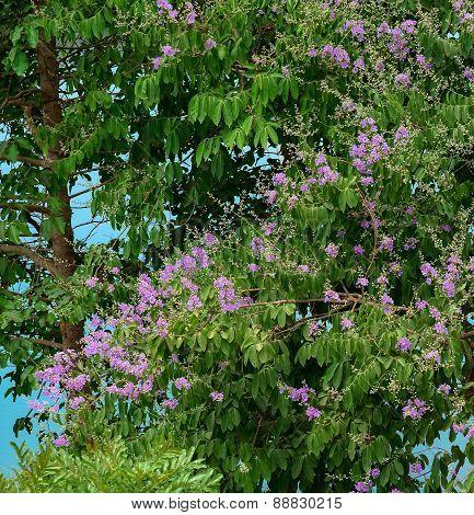 Pink Lagerstroemia Speciosa Blossom