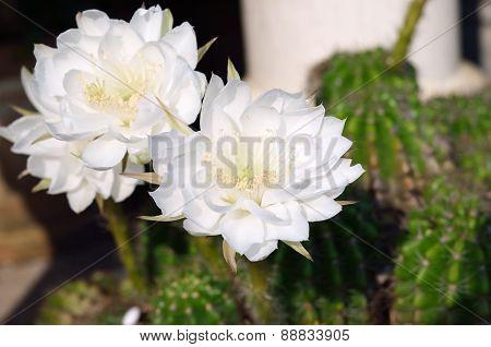 Beautiful White Cactus Flower In Thailand