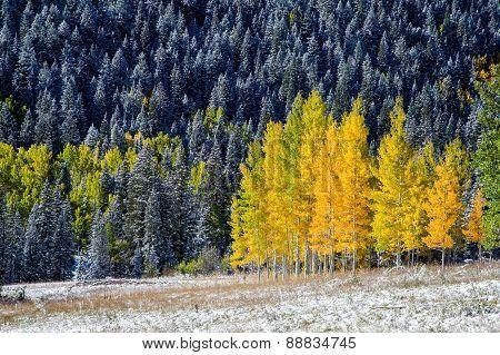 Yellow Aspens In Colorado Mountain