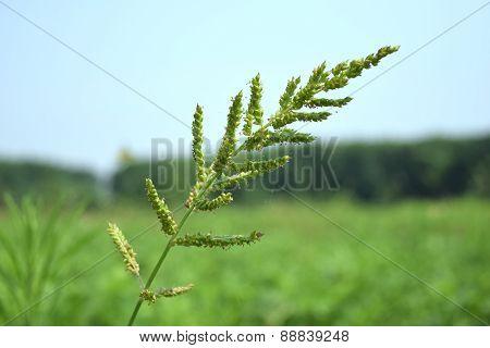 Wayside grass (Purple nut grass)