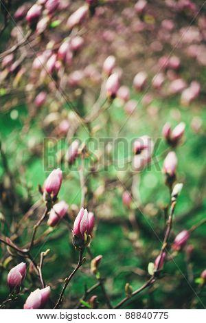 Pink magnolia blooming