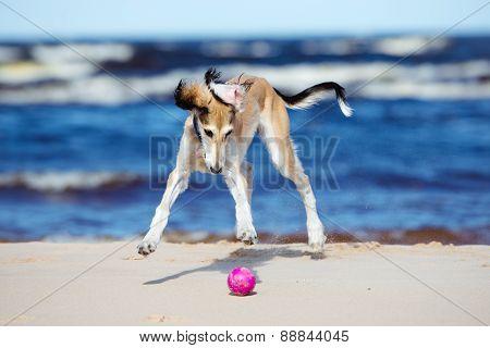 happy saluki puppy running on the beach